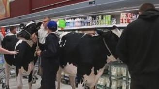 İnekleriyle Süpermarkete daldı