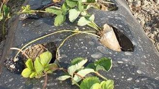 Yeni çilek fideleri toprakla buluşuyor