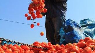 Salçalık domates fiyatında şok düşüş