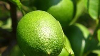 Yüksek fiyat limonda erken hasada yöneltti
