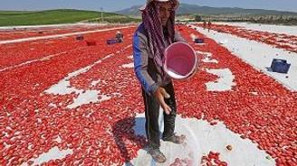 Domatesi kurutup Avrupa'ya satıyorlar