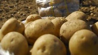 Patateste rekolte beklentisi yüksek