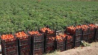 Bozkırda organik domates üretimi artıyor