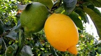 Tescilli mandalina ve limonlar çiftçilerin hizmetinde