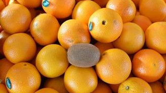 1 adedi 2 kilogram portakala denk