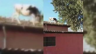 Çatıda inek dolaşıyor