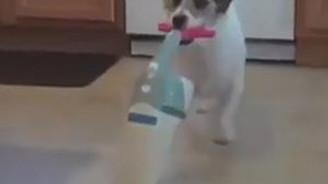 Açık ara dünyanın en eğitimli köpeği