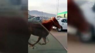 Karayoluna çıkan at araçlarla yarıştı
