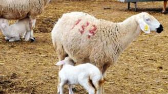 Kangal Koyunu yükselen değer