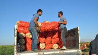 Kuru soğan üreticileri sıkıntılı