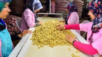 Yer fıstığı üreticileri yeni sezondan umutlu