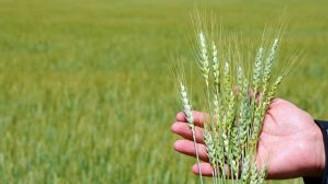 İslahiye'de buğday hasadı başladı