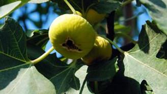 Bu yıl incirin yılı olacak