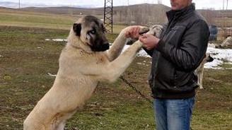 İlçeye inen kurt, Kangal'ların gazabına uğradı