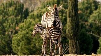 İzmir'de Zebra doğum heyecanı!