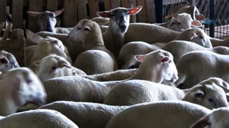 Bursa'da özel koyun ırkı geliştiriliyor