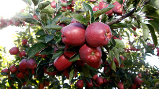 Lezzetini rakımından alan elma!