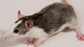 Farenin kuyruğundan, fare yavrusu elde ettiler