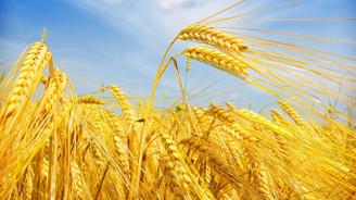 Buğdayda verim artışı şampiyonları Tunceli ve Manisa oldu