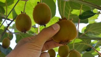 Kivi üreticilerine hasat uyarısı