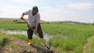 Çankırı'da çeltik hasadı başladı