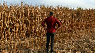 Çiftçinin mısırı tarladan çalındı