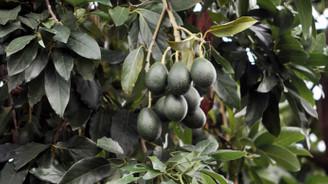 Alanya avokadonun üretim merkezi oldu