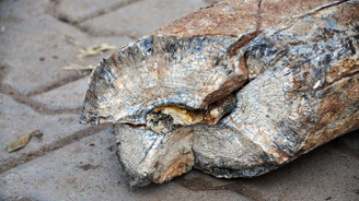 Nevşehir'de fil dişi fosili bulundu