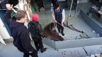 Çinekop'a niyet, Köpek balığına kısmet