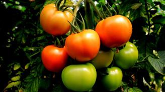 Güz domatesi üreticiyi sevindiriyor