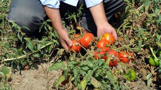 Fazla üretim domatese 'taban' yaptırdı