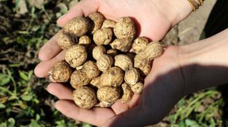 Alternatif yöntemle yetiştirilen yer fıstığında ilk hasat