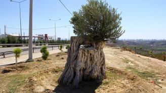 800 yıllık ağaç meyve verdi
