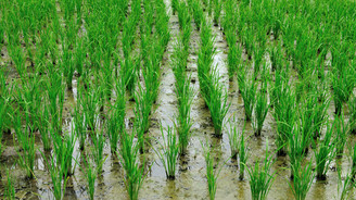 Trakya'da çeltik hasadı başladı
