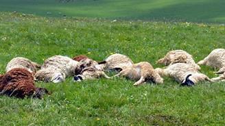 Kurt sürüsü, kurbanlık 31 koyunu telef etti