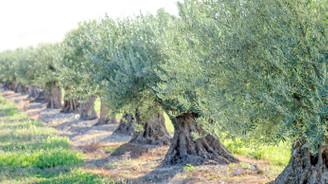 Harran'a 1 milyon zeytin fidanı