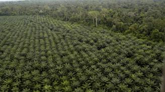 Palm yağı için ormanlar yok ediliyor