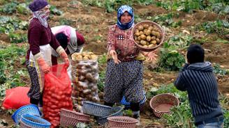 Patates üreticilerinin yüzü gülüyor