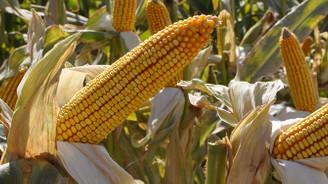 Kayseri Pancar, çiftçiye danelik mısır için 2 milyon TL ödeyecek