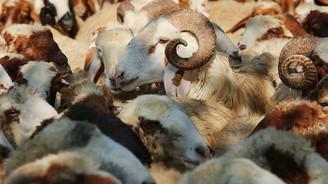 Koyun keçi yetiştiricilerine destek başvurusu için ikinci şans