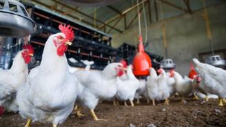 Tavuk eti üretimi yüzde 25 arttı