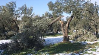 Çanakkale'de fırtına ve kar zeytin ağaçlarına zarar verdi