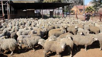 Kilisli genç çiftçilere 40'ar küçükbaş verildi