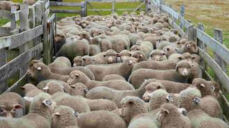 Türkiye koyun sayısında AB'de birinci