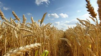 Sivas buğdayında düşük rekolte beklentisi