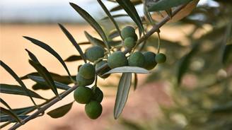 Kilis ilk zeytinyağı ihracatını Katar'a yapacak