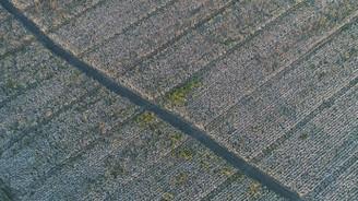 Çukurova'da pamuk ekim alanı arttı