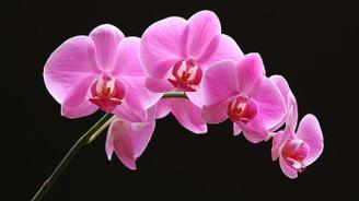 Orkideye talep, üretimi artırdı