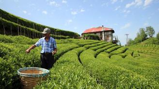 254 bin ton kuru çay üretildi