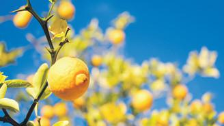 Akdeniz kentlerinin parfümü: Turunç